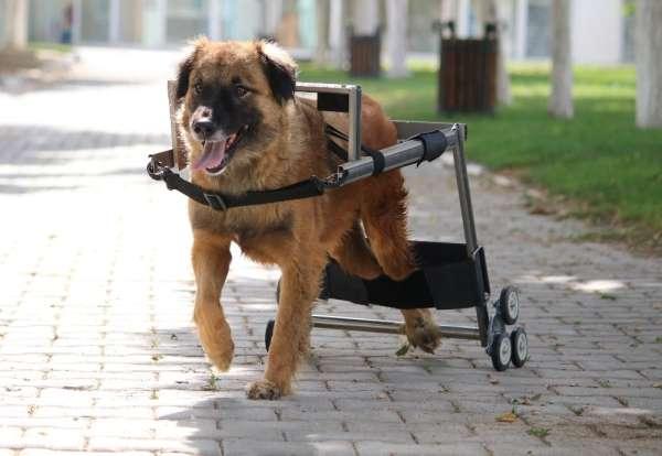 Vestel'in engelli hayvanları hayata bağlayan yürüteç projesine İngiltere'den ödü
