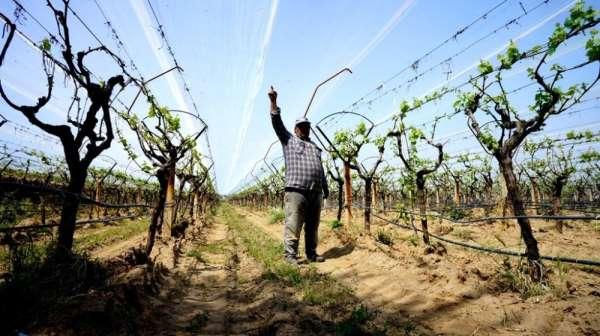 Manisa'da üzüm bağlarında doluya karşı önlem