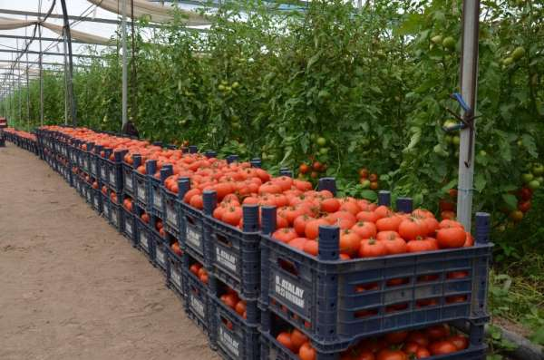 Amik Ovası'nda üretici alternatif tarıma yöneldi