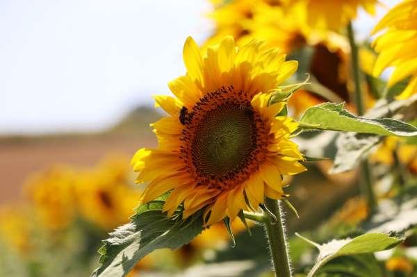 Samsun çiftçisine 18,4 milyon TL yağlı tohumlu bitkiler fark ödemeleri desteği