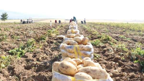 Niğdede yazlık patates hasadı başladı