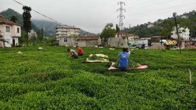 Pandemi nedeniyle Gürcü çay işçileri Rize gelemeyince 'Yevmiyecilik' bir sektör