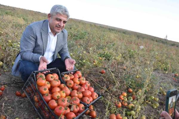 Bitliste 200 bin ton domatesten 400 milyon TL gelir bekleniyor