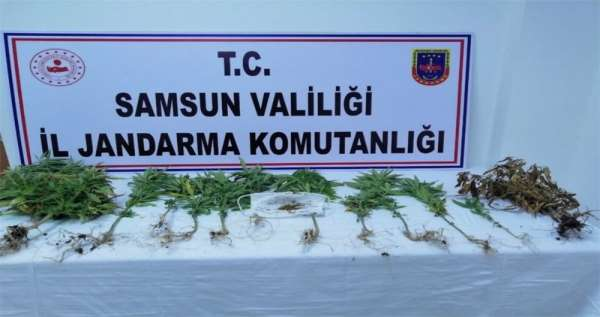 Samsun'da 162 kök kenevir ele geçirildi, 4 şüpheli gözaltında