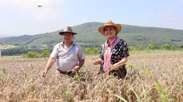 İzmitte ekilen yerel buğdayların hasadı yapıldı