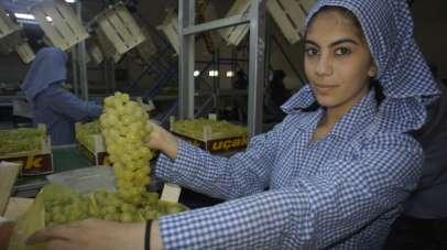 Çekirdeksiz sofralık sultani üzüm ihracatından 37 milyon dolar