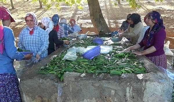 Kahramanmaraş'ta 200 bin ton salatalık üretiliyor