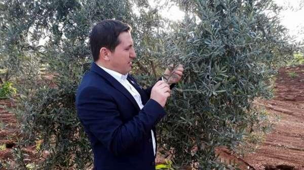 Zeytin'de pamuklu bite karşı ilaçlanma önerisi