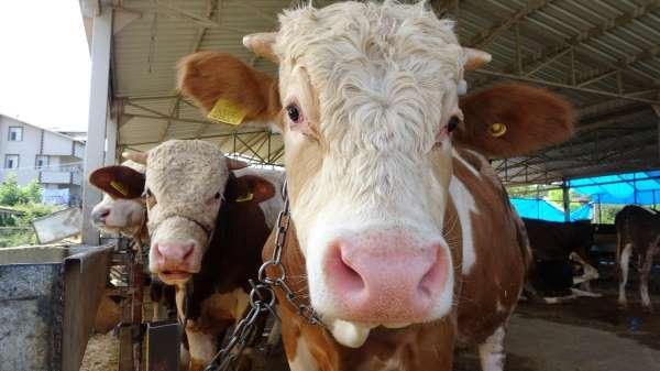 Besiciler uyardı: Kurbanlık hayvanlar tükenmek üzere