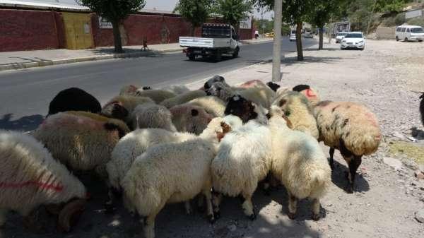 Mardinde kurbanlık satışları başladı