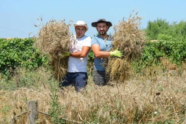 Nilüferde ekolojik buğdayda hasat dönemi