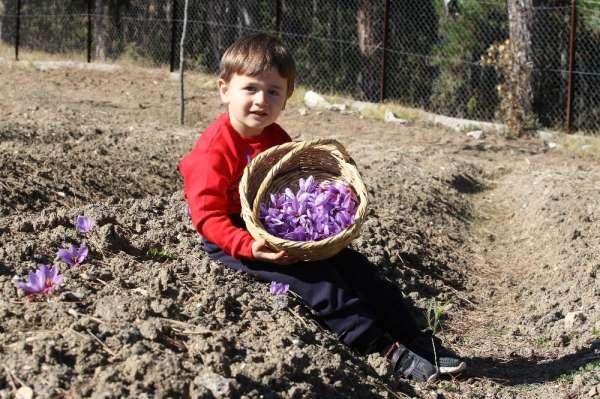 Kilosu 40 bin liradan satılan safranın hasadı başladı