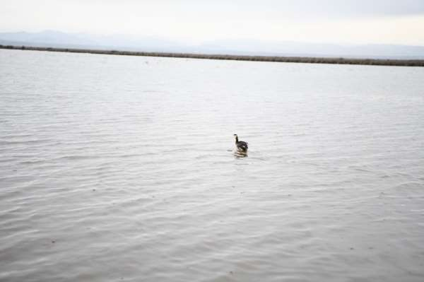 Yaralı halde bulanan ördek tedavi edilerek doğaya salındı