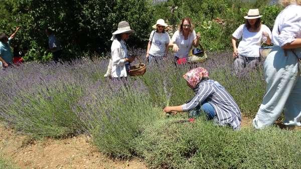 Kadınların büyüttüğü lavantaları yine kadınlar hasat etti