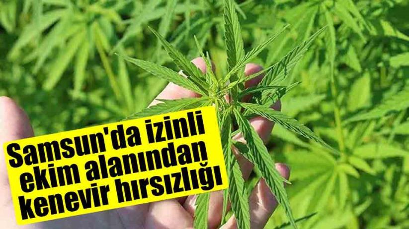 Samsun'da izinli ekim alanından kenevir hırsızlığı
