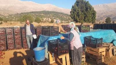 Tufanbeyli'de elma hasadı başladı