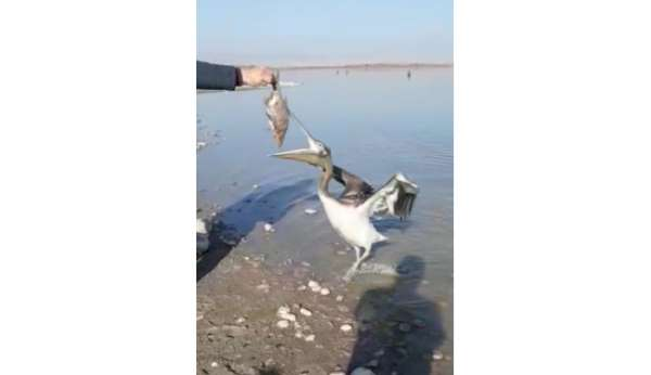 Pelikan uzatılan balığı böyle yedi