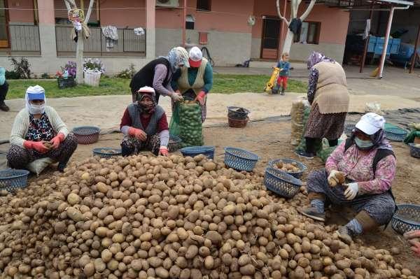 TMOnun patates alımı Manisalı çiftçilerin yüzünü güldürdü
