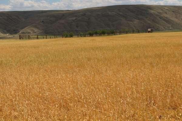 Çankırıda tarlalar kuraklık sebebiyle erken hasat edilmeye başlandı