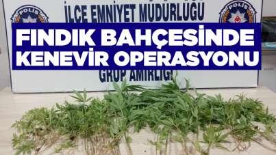 Samsun'da fındık bahçesinde kenevir operasyonu