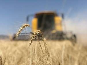 TMO'nun buğday müdahale alım fiyatı çiftçinin yüzünü güldürdü