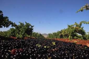 Kilis Karası üzümün hasadı başladı