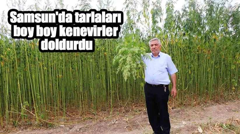Samsun'da tarlaları boy boy kenevirler doldurdu