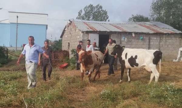 Samsun'da dedektif muhtar çalıntı inekleri buldu