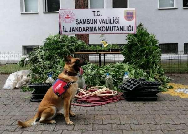 Jandarma 2 bin 600 kök kenevir bitkisi ele geçirildi