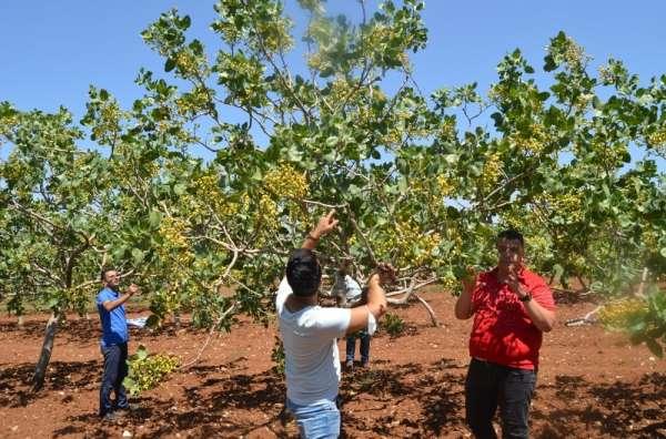 Siirt'te fıstık rekoltesini tarım ekipleri belirleyecek