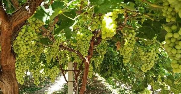 'Superior Seedless' üzüm çeşidi için 2020 yılı hasat ve ihraç tarihleri belirlen