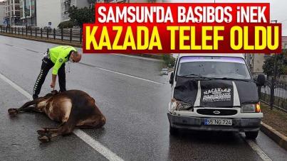 Samsun'da başıboş inek kazada telef oldu