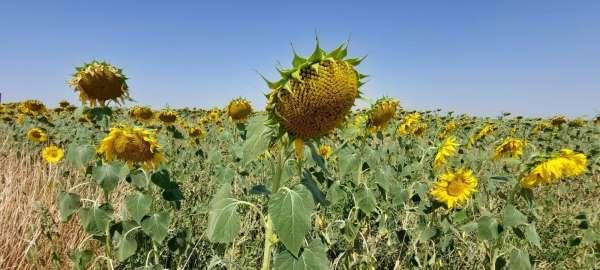 Yerli ve milli ayçiçeği tohumu 2022de dünya piyasasına çıkıyor