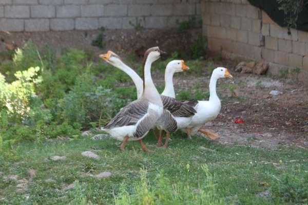 Beslediği kazların saldırısına uğrayıp yerlerde sürüklendi, kazları satışa çıkardı
