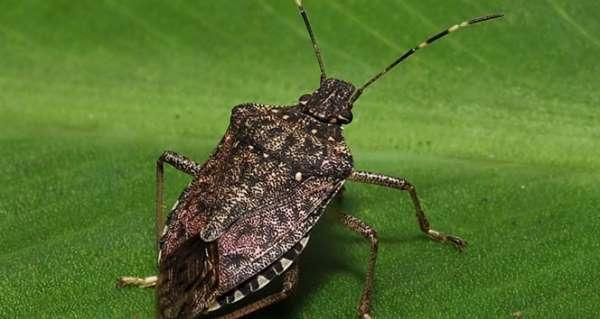 Tarımda kahverengi kokarca ile biyolojik mücadele