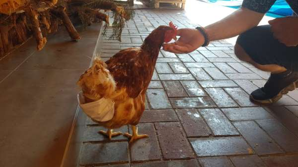 Esnafın maskotu tavuk sokağa pislemesin diye maskeyle bezleniyor