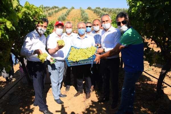 Salihli Ovası'nda ihracatlık üzümde hasat başladı