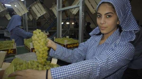 Superior Seedless çeşidi sofralık üzümün ihracat yolculuğu 22 Temmuz'da başlıyor