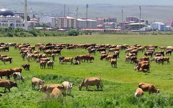 Ardahanı kuraklık vurdu, hayvanlar yaylalardan indirilip meralara bırakıldı