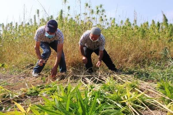 Kenevirin ekim alanı arttı, kuraklıktan verim düştü