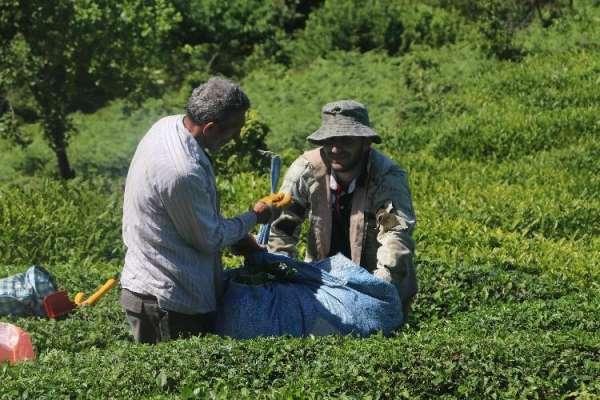 Yaş çay hasadı öncesinde uzmanlardan uyarı