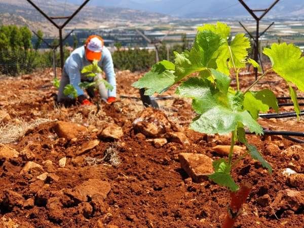Elmalı MYO'da üzüm bağı kuruldu