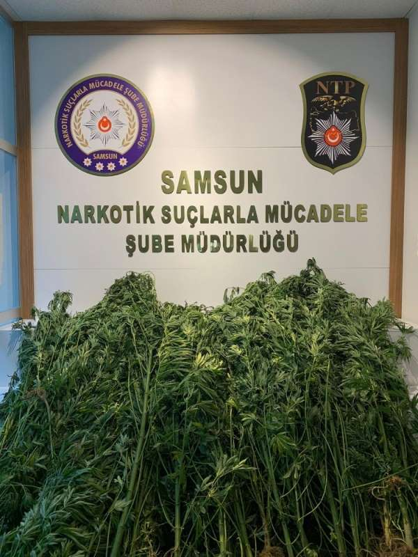 Samsun'da 124 kök kenevirle yakalanan bir kişi gözaltına alındı