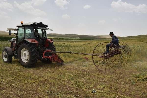 Başkentte kırmızı mercimekte hasat zamanı