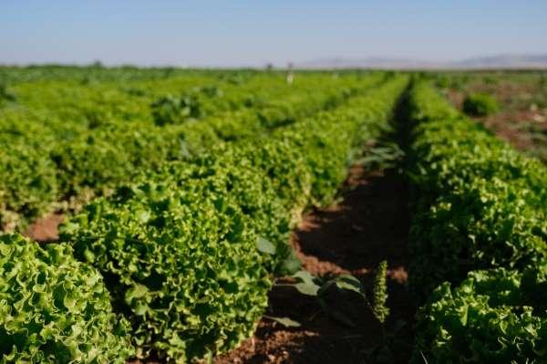 Konya Ovasında alternatif ürün marul üretimi artıyor