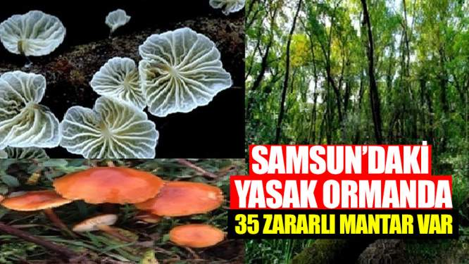 Samsundaki yasak ormanda 35 zararlı mantar var!