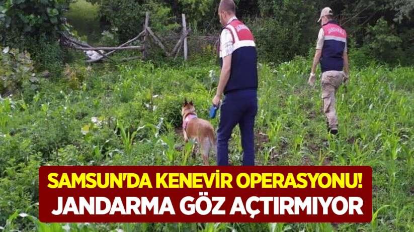 Samsun'da kenevir operasyonu! Jandarma göz açtırmıyor