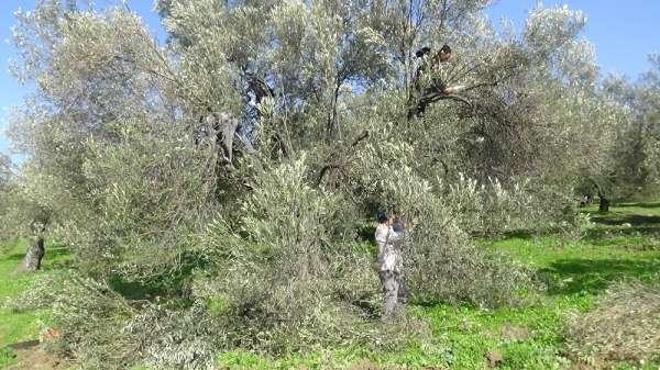 (Özel) Zeytin ağacının soğuk havaya da ihtiyacı var