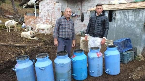 Süt fiyatlarının yükselmesi Saanen keçisine olan talebi arttırdı