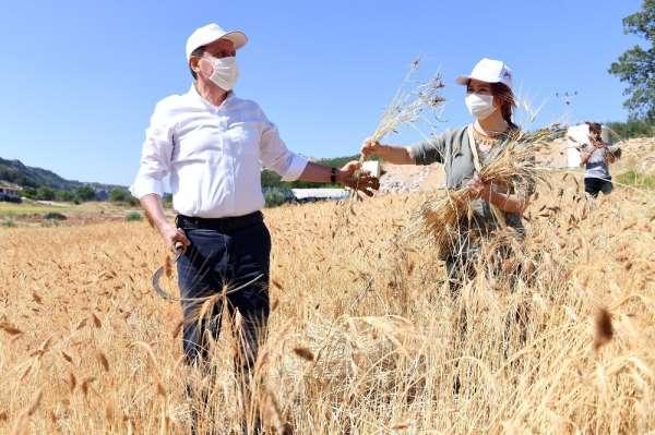 Balandız'da ata tohumu sarı buğdayın ilk hasadı yapıldı